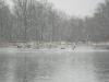 aquetong lake _geese_01.06.15_1020.jpg