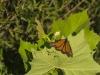 monarch_7547